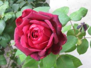 Old-fashioned fragrant rose, perfect for making rose water.  Photo: Elizabeth Urbach.